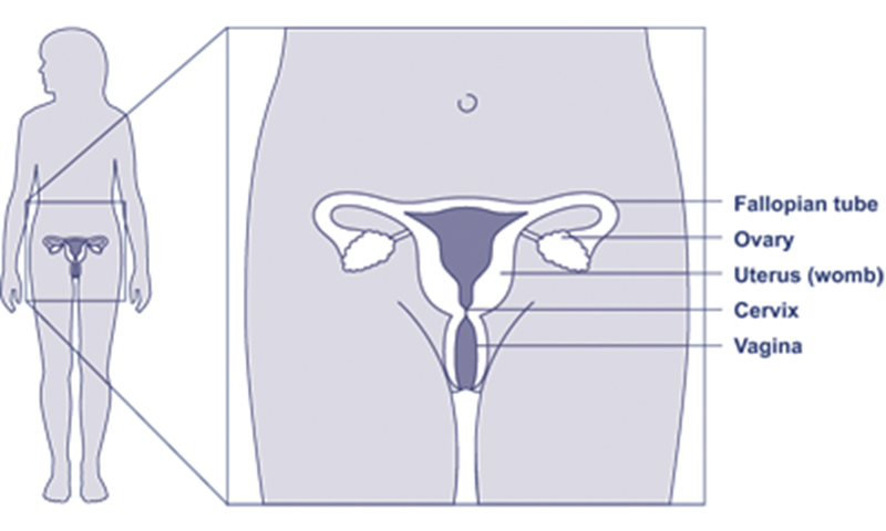 Hpv vaccine immunisations in scotland nhs inform diagram of the female reproductive system nhs health scotland ccuart Images